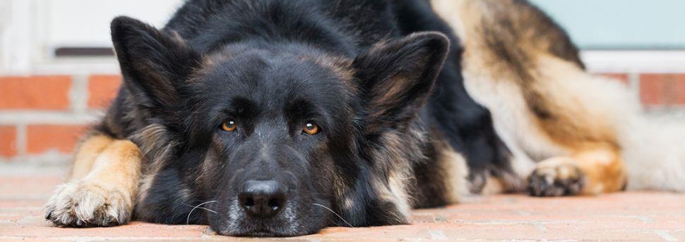 Как научить собаку команде «лежать»?