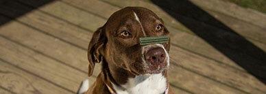 Как научить собаку команде «дай лапу»?