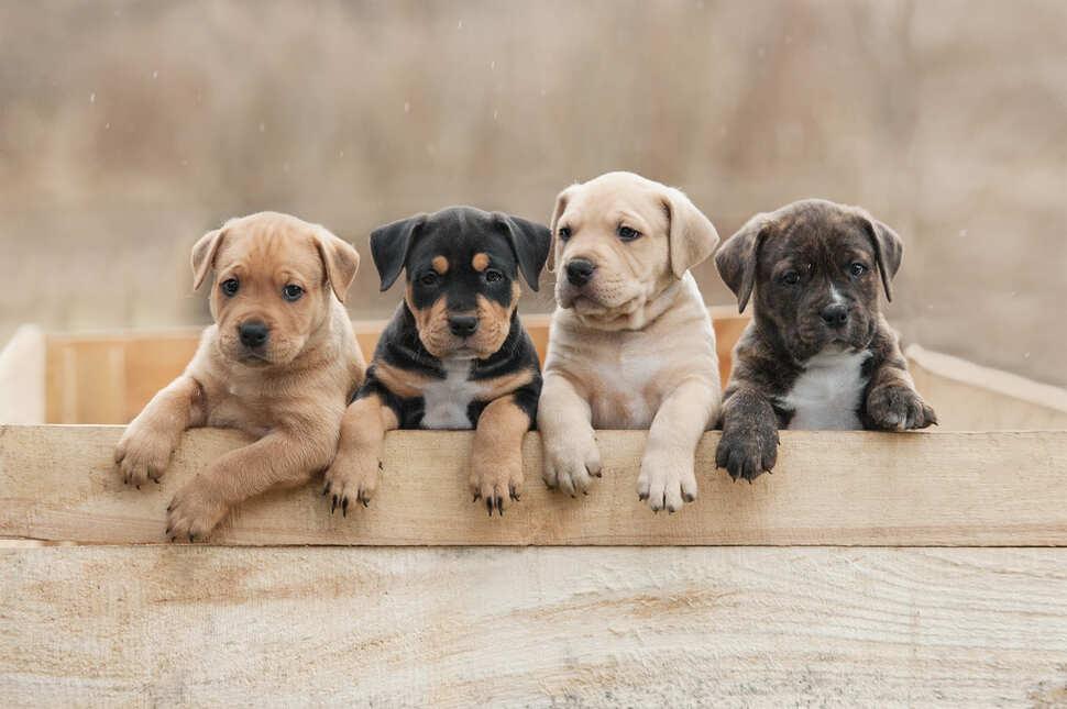 Адаптация щенка в доме, первые дни щенка в доме